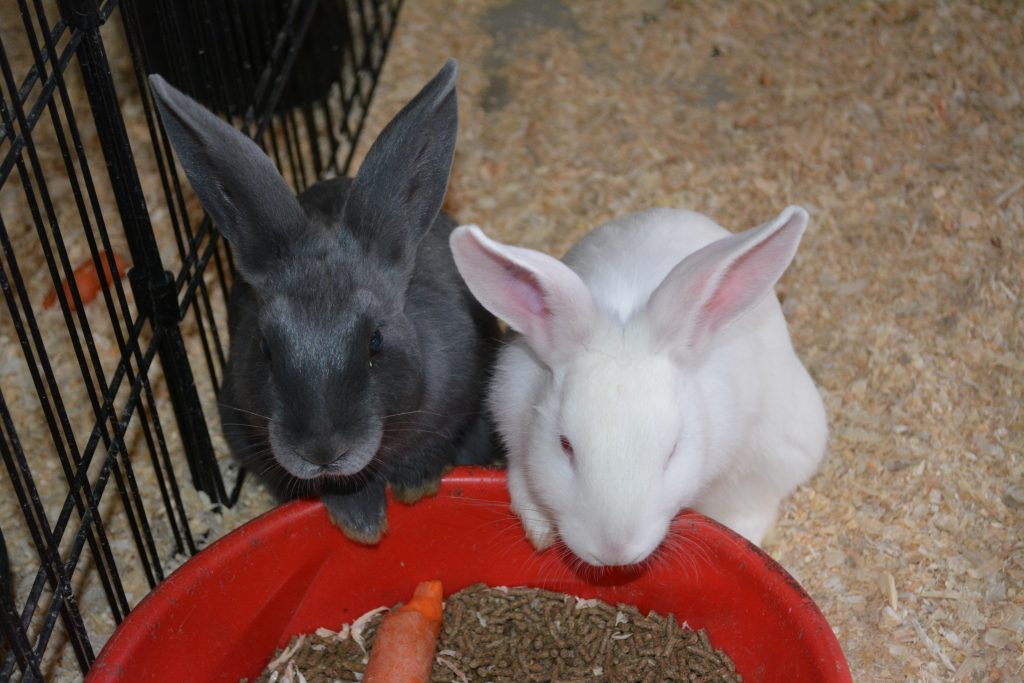 Gray and whhite rabbit eating from red bowl