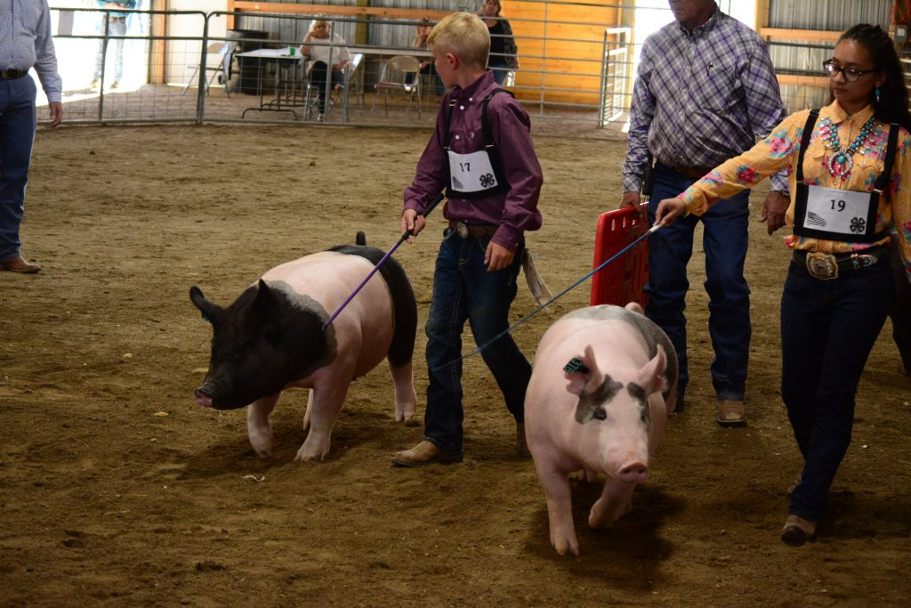 two youth showing pigs in arena