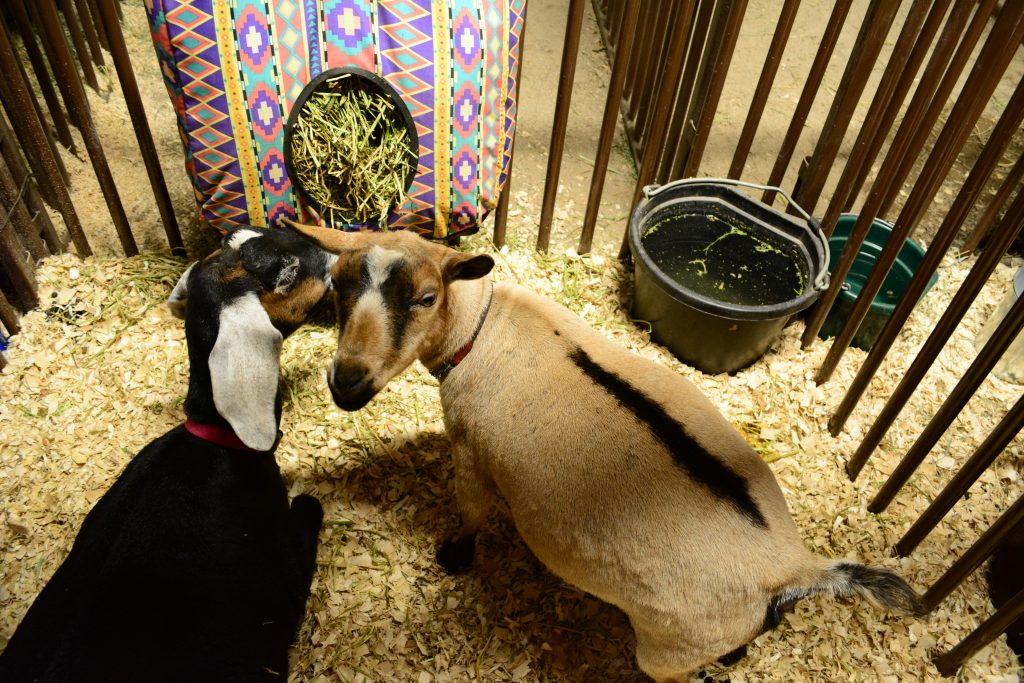 two goats with feed bucket